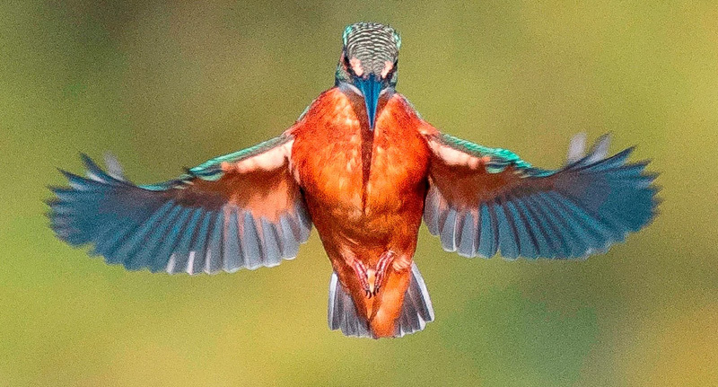 Photographer's 'One-In-A-Million' Shot Of Kingfisher In Flight Is Stunning