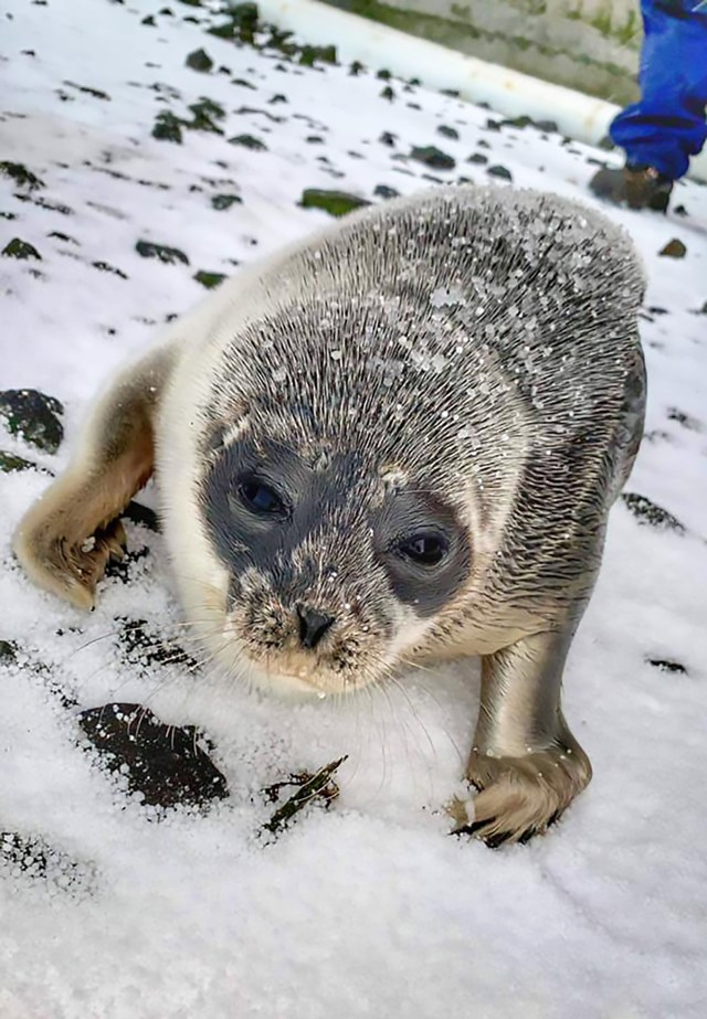 Weary And Malnourished Seal Pup Swims Miles From Home