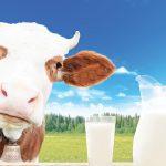 inek sütünün zararları