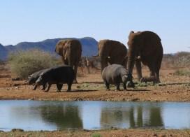 Die Wüstenelefanten und die Nilpferde