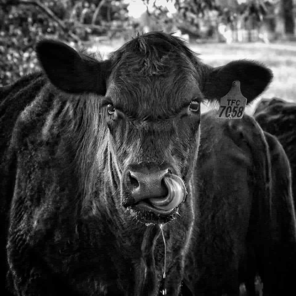 Cow culture profile pic