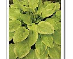 Wave Runner  Hosta - Uniquely Hostas