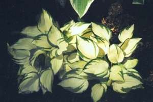 Warwick Delight  Hosta - Uniquely Hostas