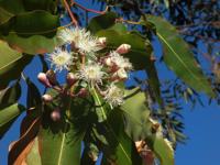 eucalyptus_200
