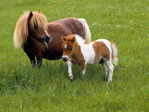 تعرف على اكبر و اصغر سلالة الخيول