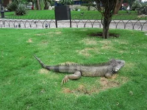 سحلية اغوانا احد اضخم الزواحف في العالم