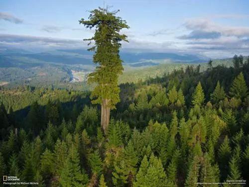 اين توجد اطول شجرة في العالم ؟