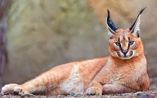 10 من اشهر انواع القطط الكبيرة في العالم بالصور سحر الكون