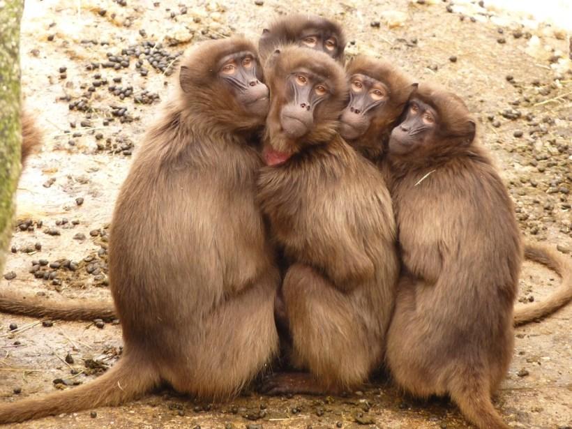 selfies-babouins