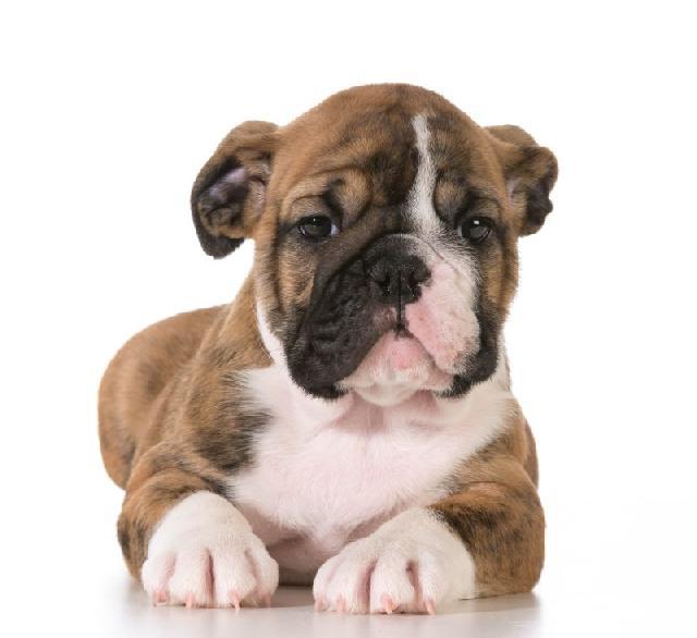 caes-mais-carinhosos-bulldog-ingles