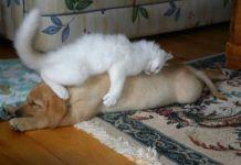 Gatos fofos que usam os cães como almofada