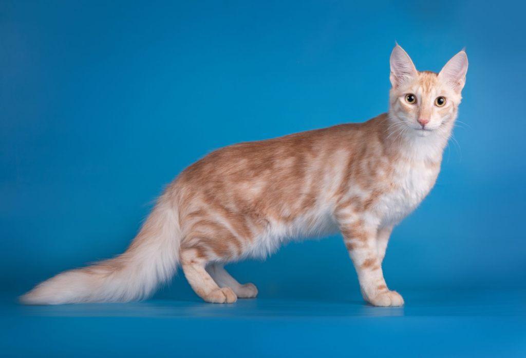 Angorá Turco Gato