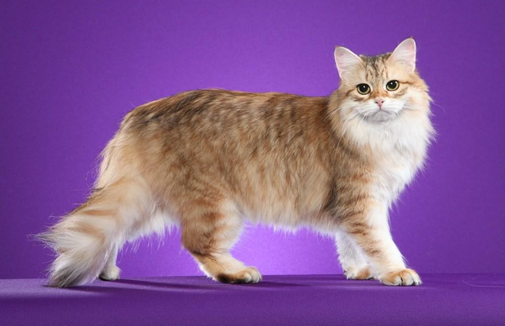 Siberian Gato