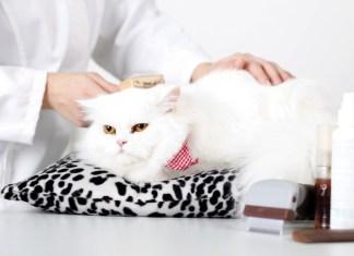 Grandes dicas para gatos de pêlo longo
