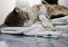 Insuficiência renal crónica no gato