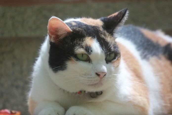 gatinho gordo