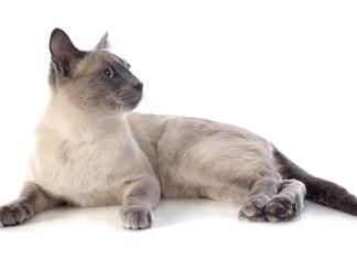 O gato siamês uma raça extremamente dócil