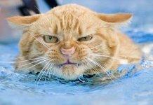 gatos odeiam água
