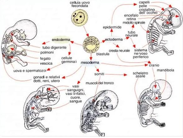 foglietti embrionali (seconda settimana di gravidanza)