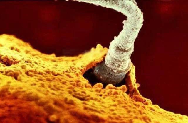 spermatozoo dentro ovulo