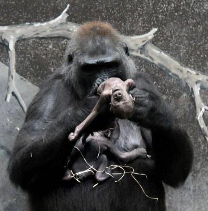 gorilla shira