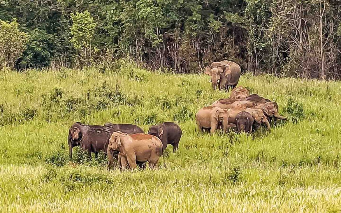 Wild Elephants in Khao Yai National Park - Awesome things to do in Thailand