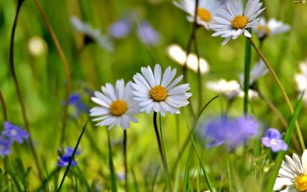 kwiatki.org-kwietna-rumianki-aka-rozmycie
