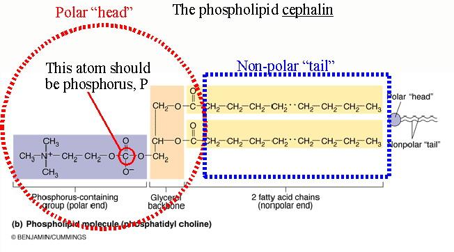 Part Phospholipid Glycerol Polar