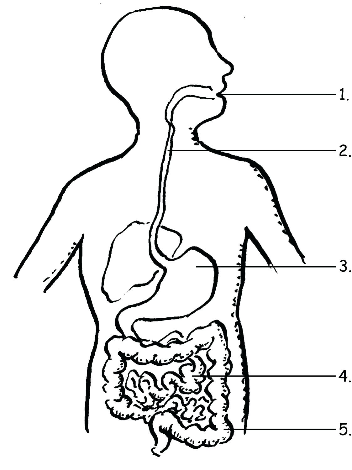 Digestive System Diagram Worksheets