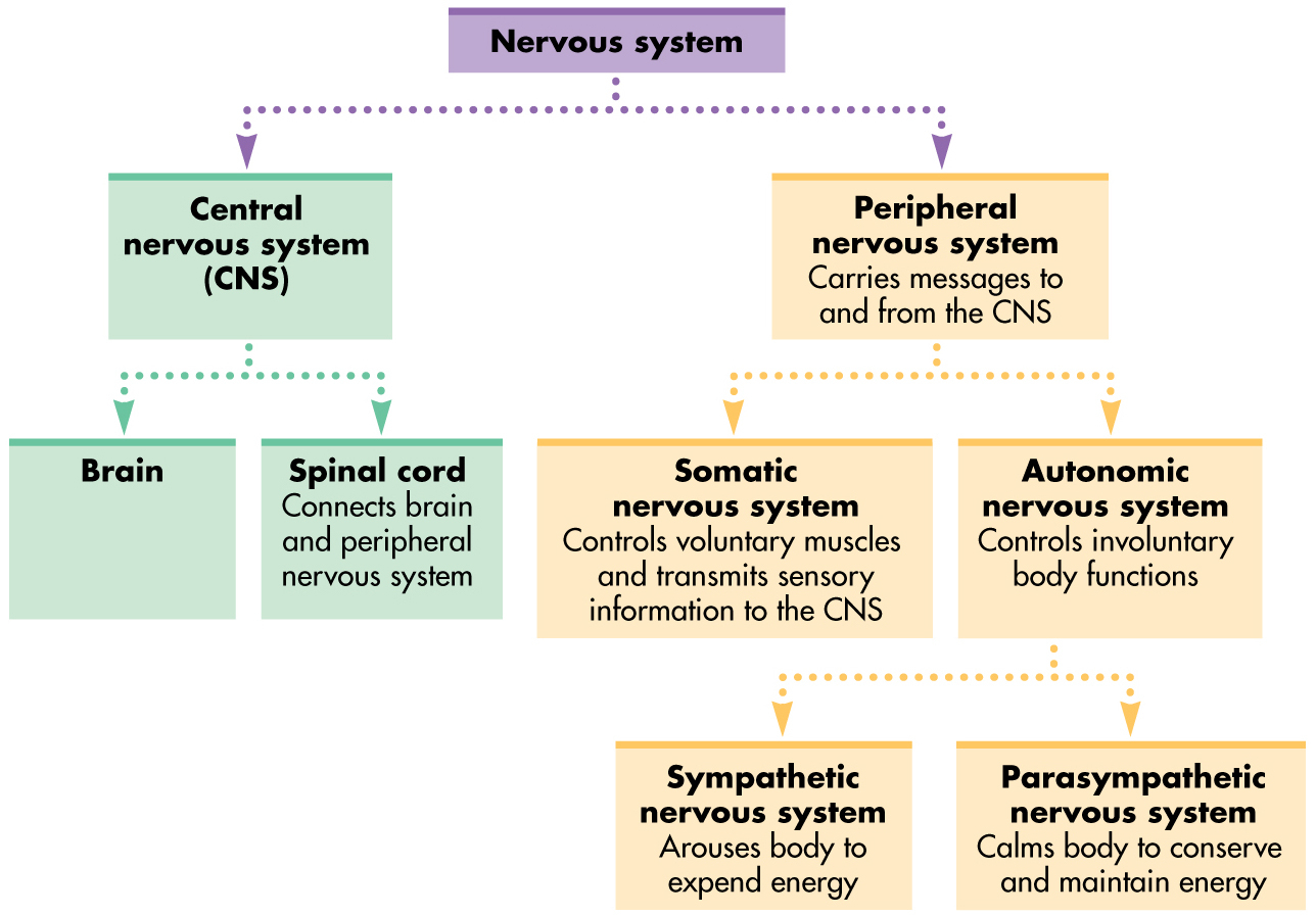 Nervous System Worksheets Answer Key