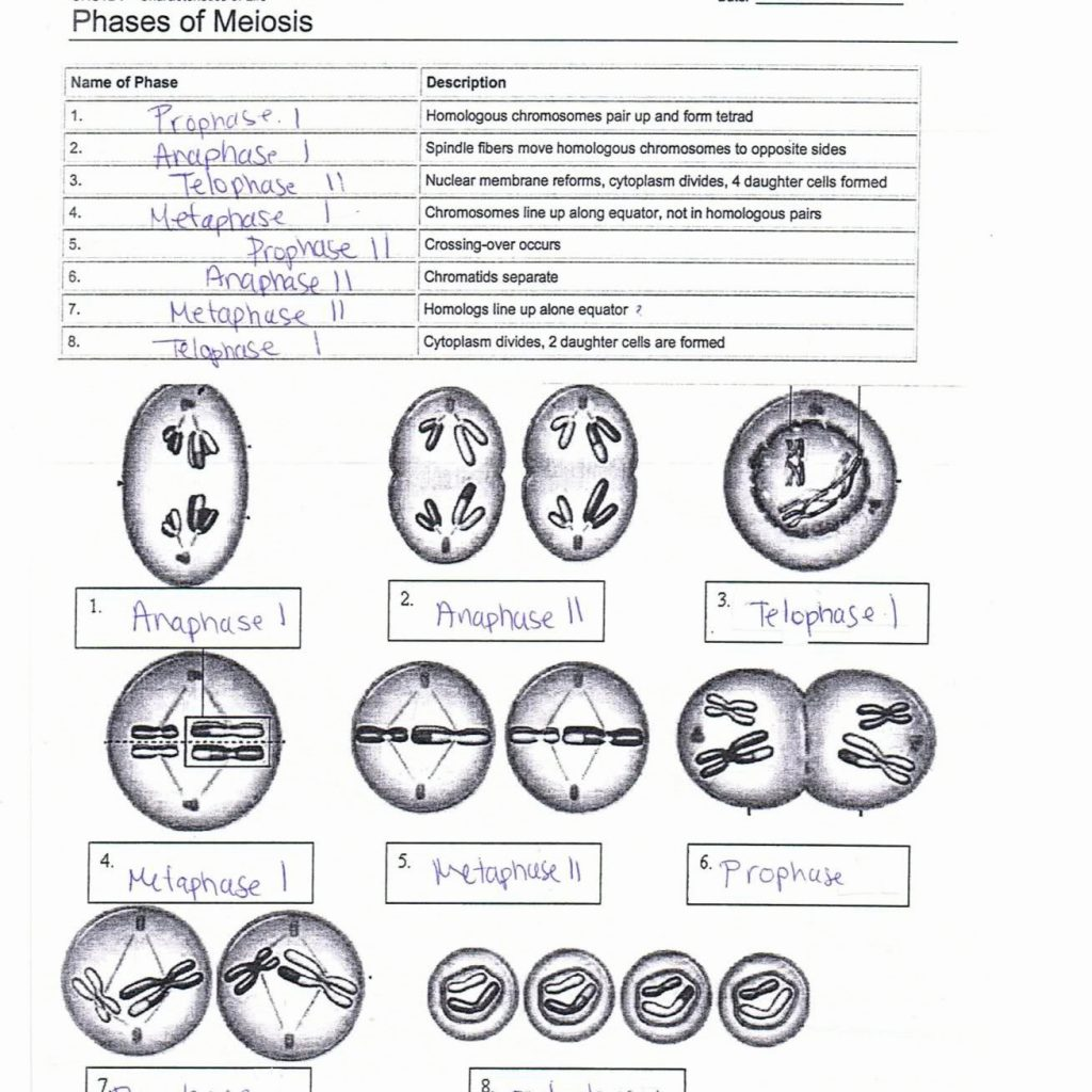 Worksheet On Meiosis Answers