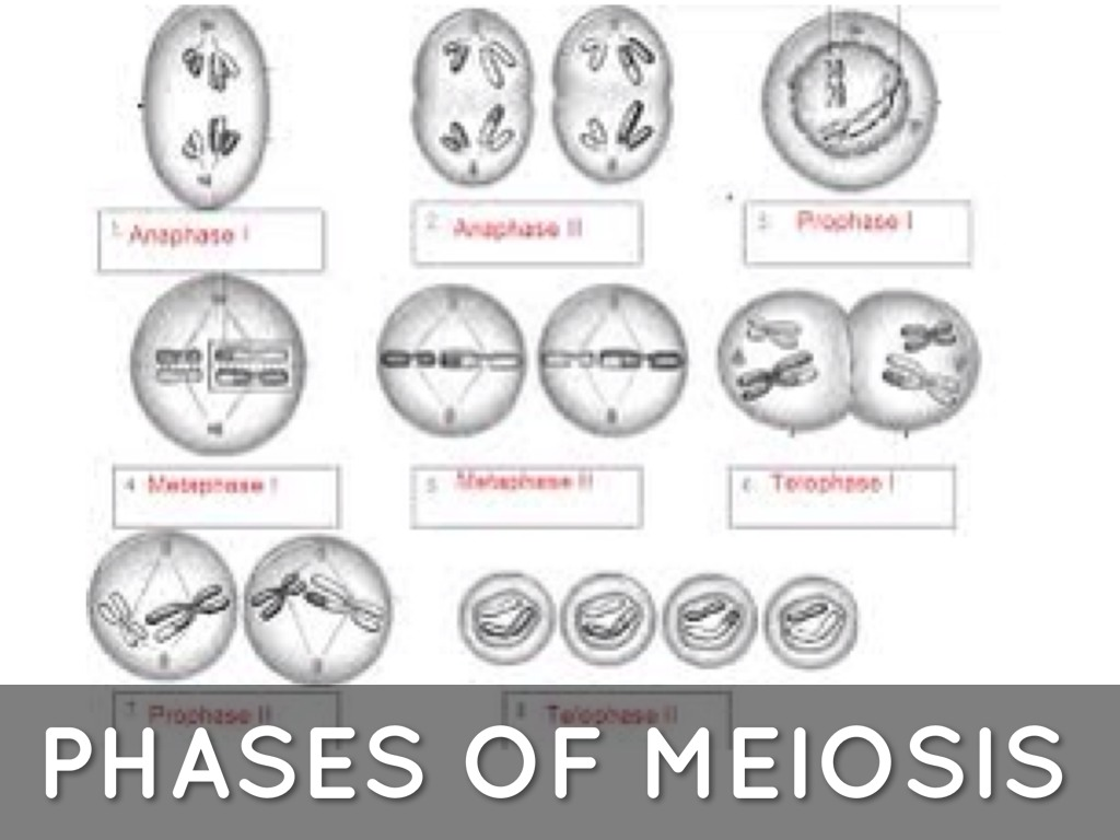 Phases Of Meiosis Worksheets Answer Key