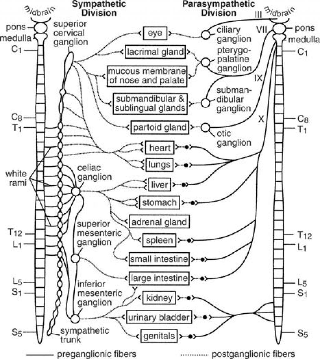 Autonomic Nervous System Worksheets