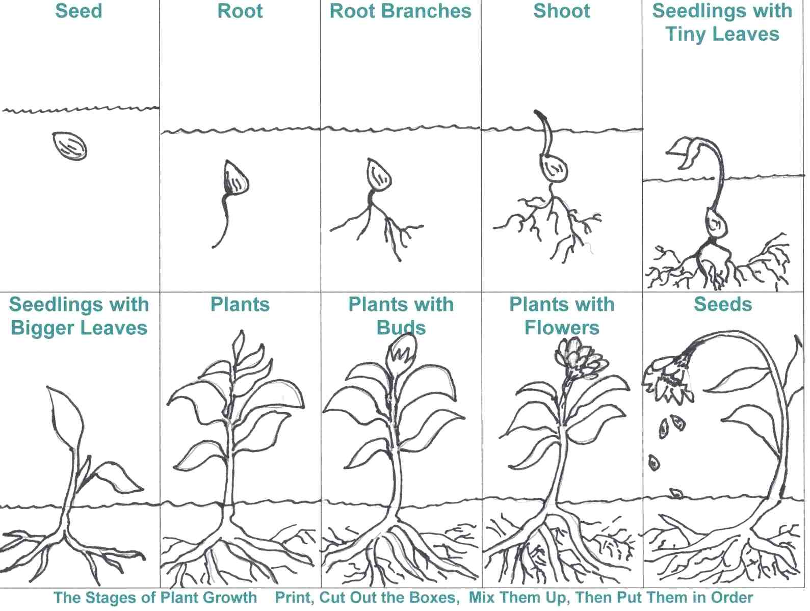Bean Plant Life Cycle Worksheets
