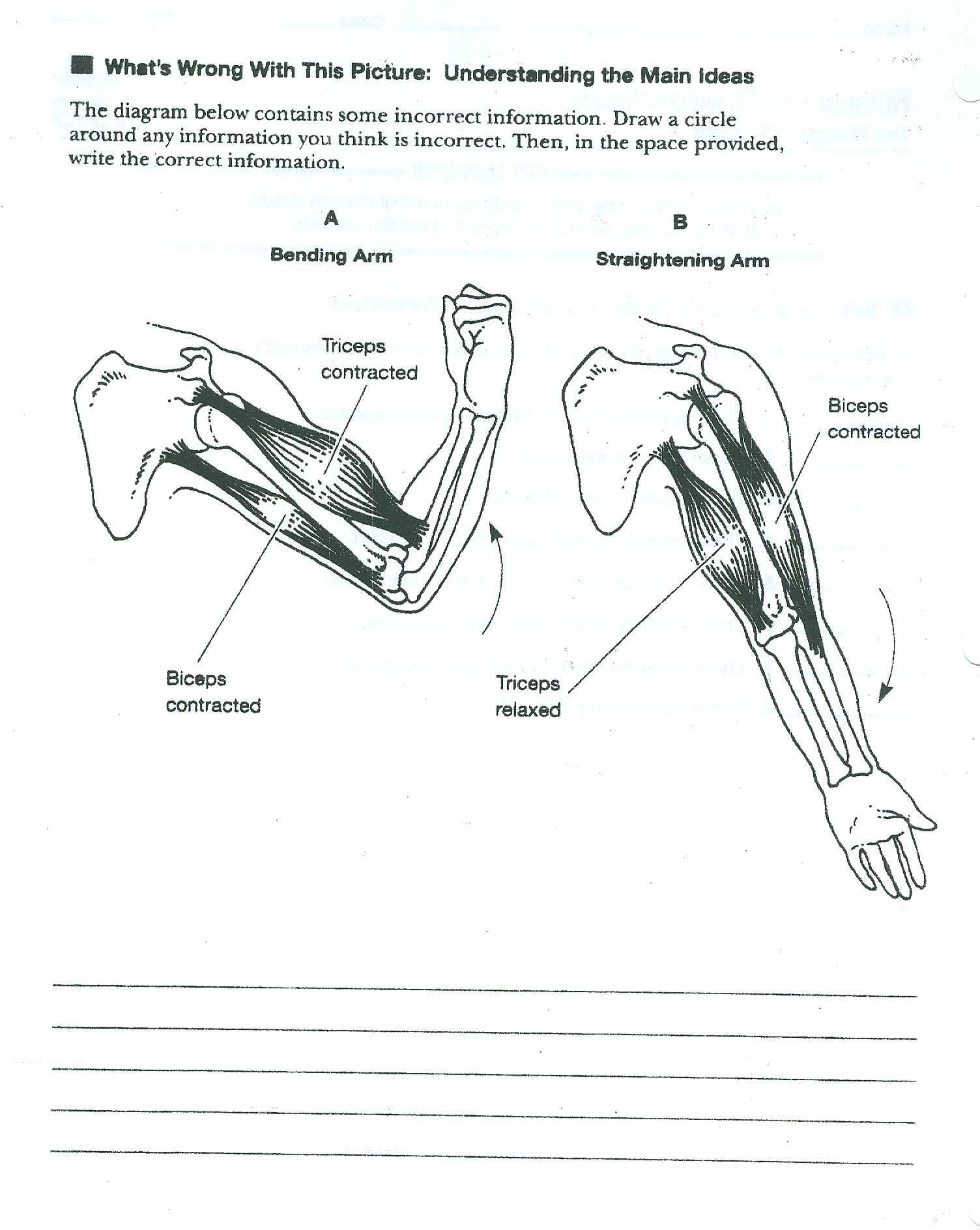 Muscle System Worksheets