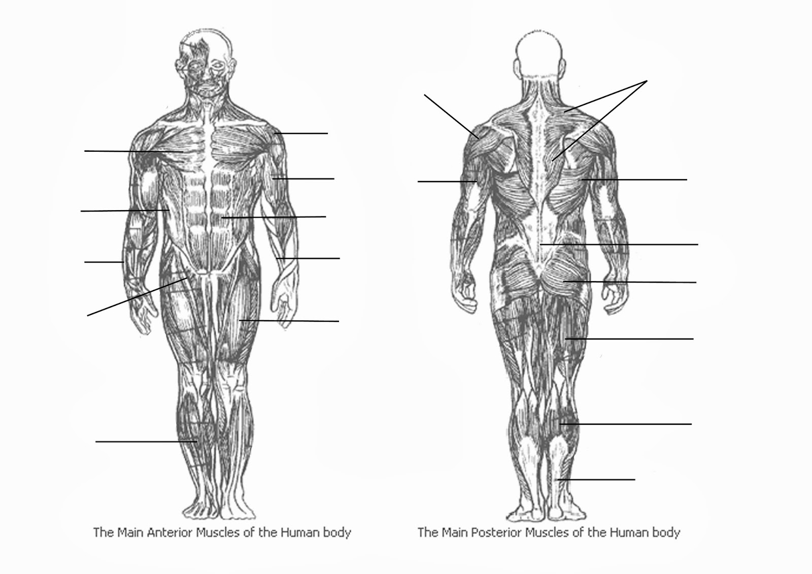 Unlabeled Muscle Diagram Worksheets