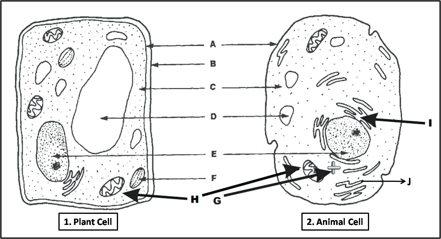Animal And Plant Cell Worksheets Printable