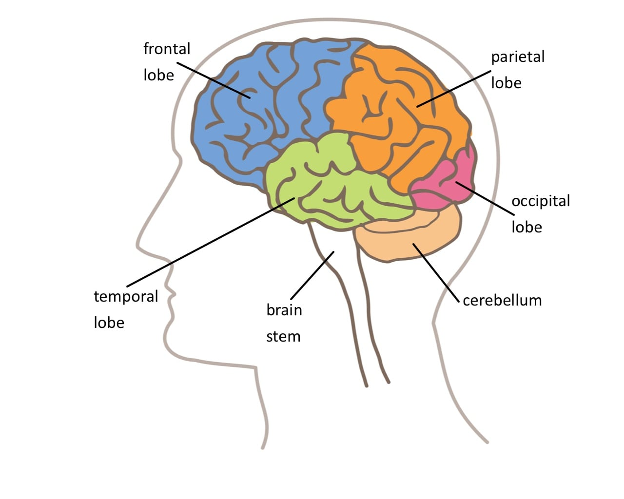 Lobes Of The Brain Worksheets