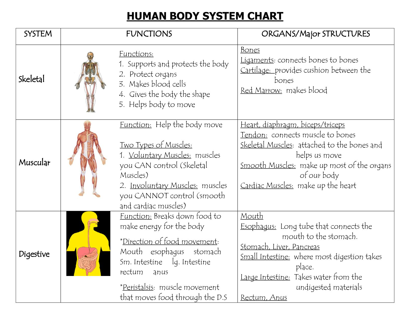 Human Body Worksheets Answers