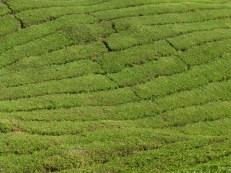 Cameron Highlands, plantación de te