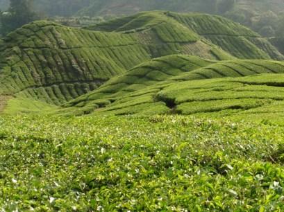 Cameron Highlands, plantación de té