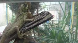 Reptiles en criadero de mariposas