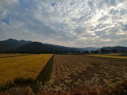 Campos de arroz en Hahoe, época de cosecha
