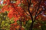 Arce coreano en otoño