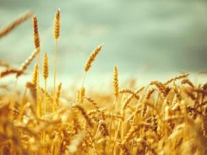 Аграрії намолотили 13 млн тонн зерна