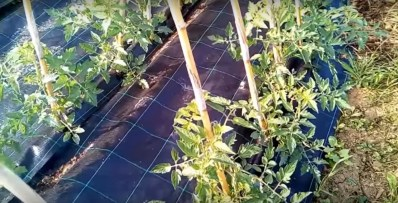 pomodori impianto