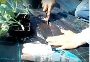 Come si coltivano i pomodori telo pacciamante