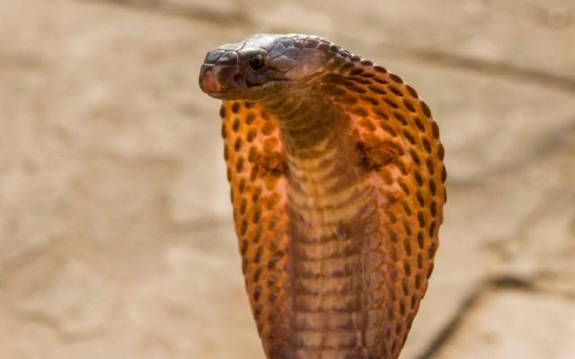british cobra covid