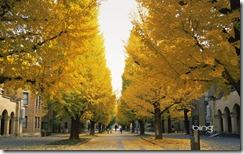 Ginkgo Trees in Tokyo University