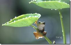 Frog climbing taro plant